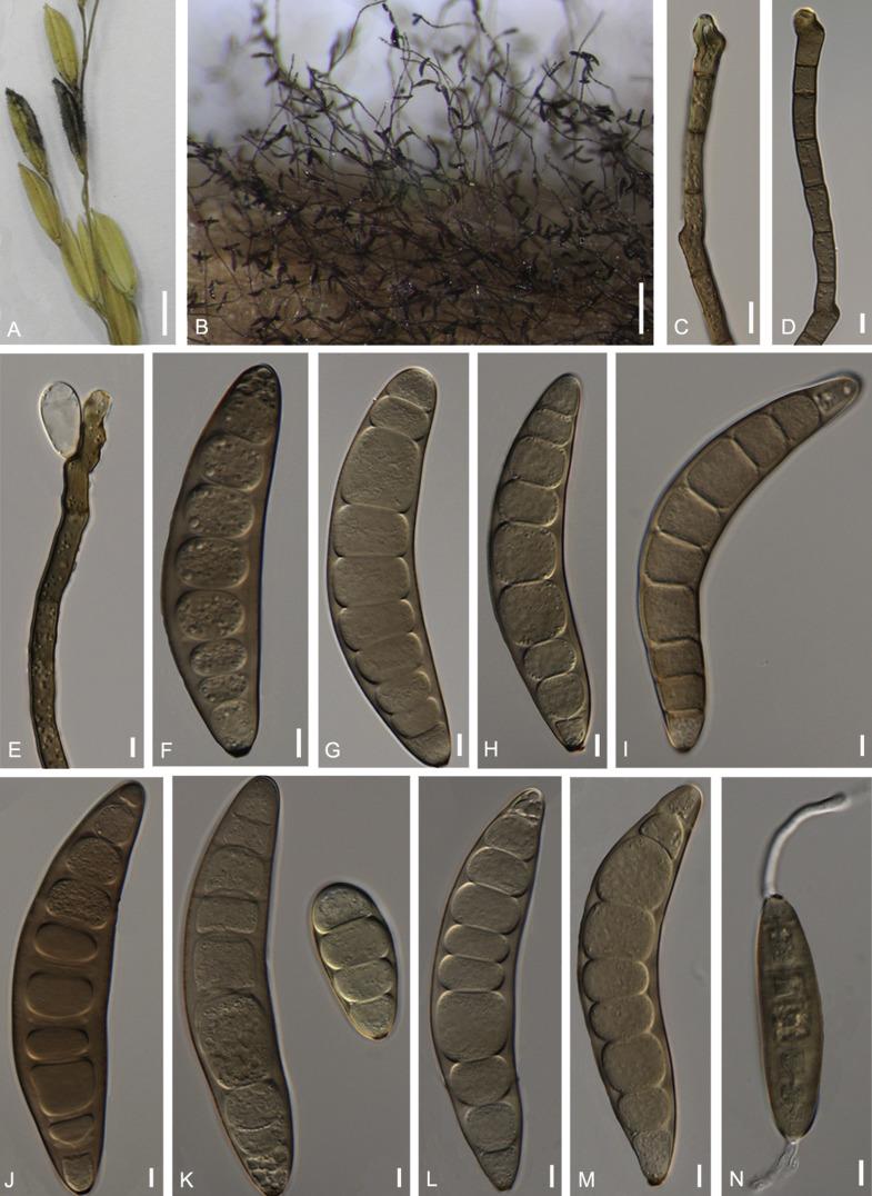 cynodontis helminthosporium