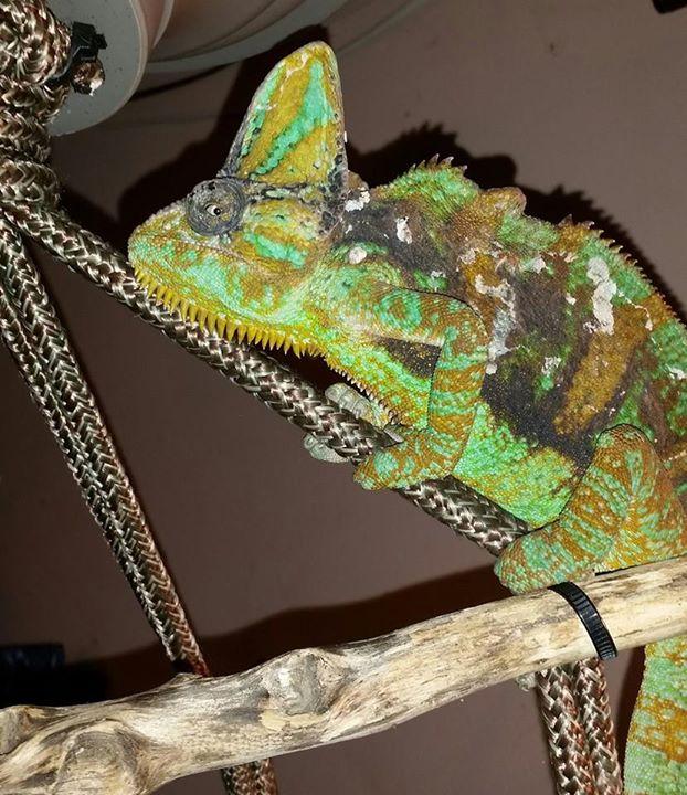papillomavirus in chameleons mă pierd în corpul uman