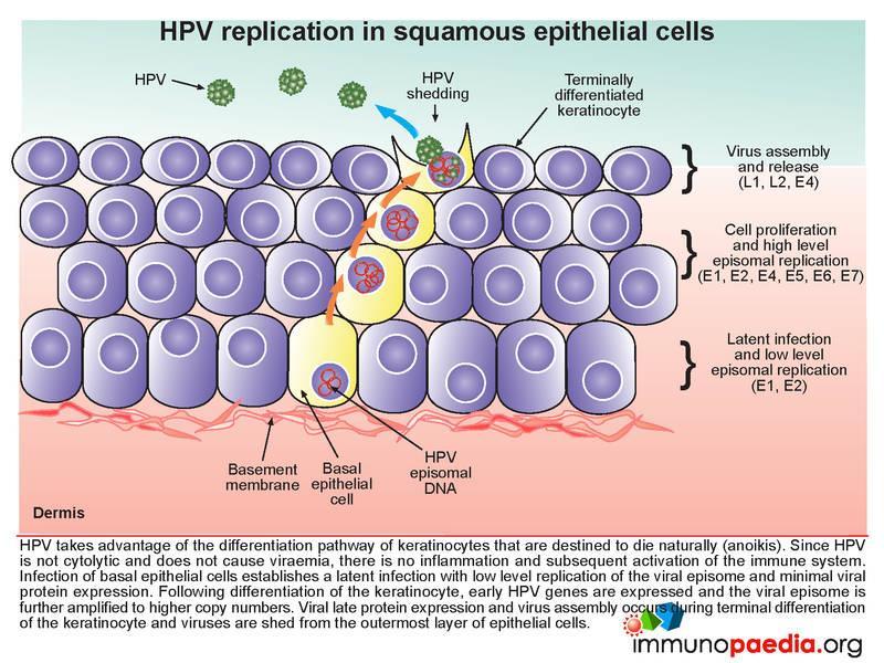Hpv cancer pathogenesis