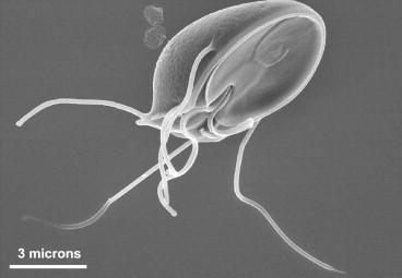 Giardia muris, Fișier:Giardia muris trophozoite SEM jpg - Wikipedia