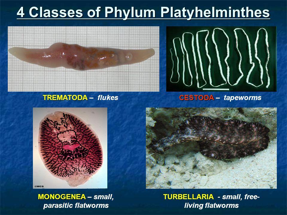 phylum platyhelminthes grafic vierme
