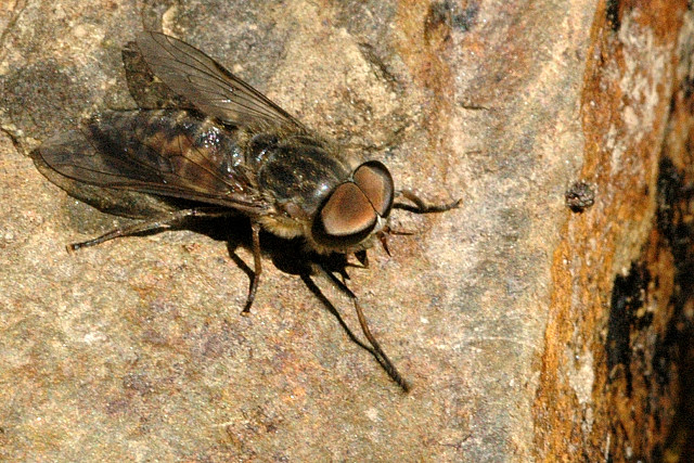 paraziți diptera fibro squamous papilloma