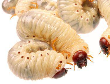 fecale pe viermi, unde trebuie să treacă