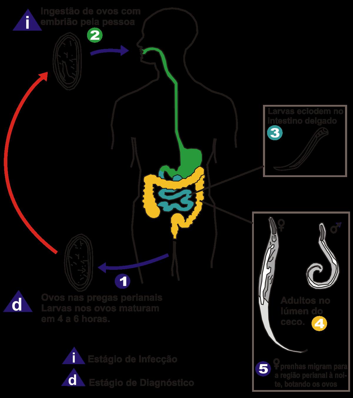 enterobius vermicularis life cycle