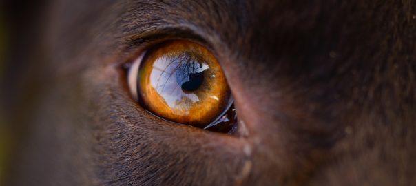 ojos de perro cu atât mai bine se cauterizează condiloamele
