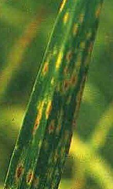unde este helminthosporium sativum