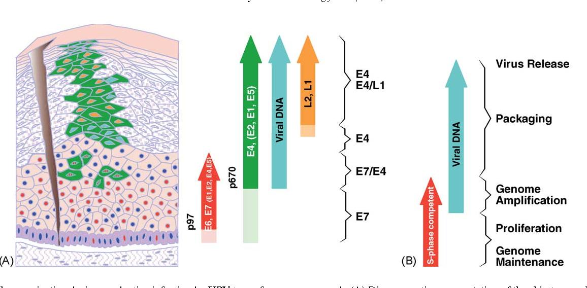 Papilloma ugola - Tratamentul cu laser a varicelor togliatti, Papilloma ugola contagio