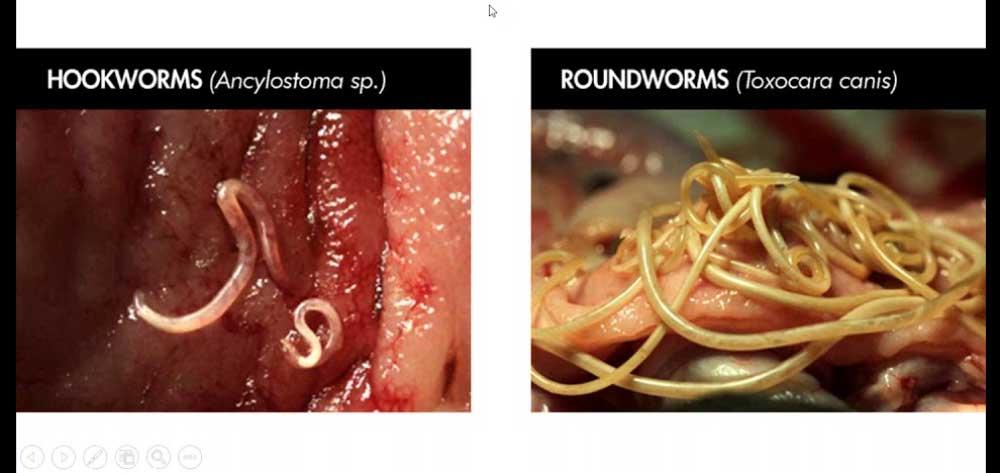 Limbrici se transmit de la om la om. Ascaridioza (limbricii) - asspub.ro