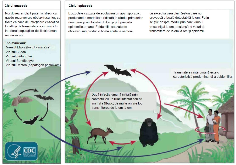 Infectia cu paraziti intestinali - Infecția cu helmint este un răspuns imun