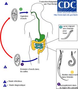 enterobius vermicularis cycle de vie