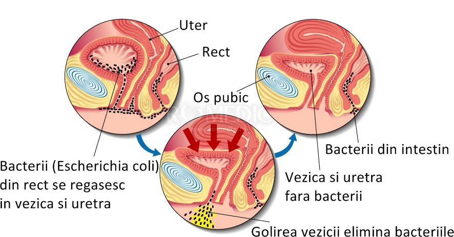 Vezică urinară - Wikipedia