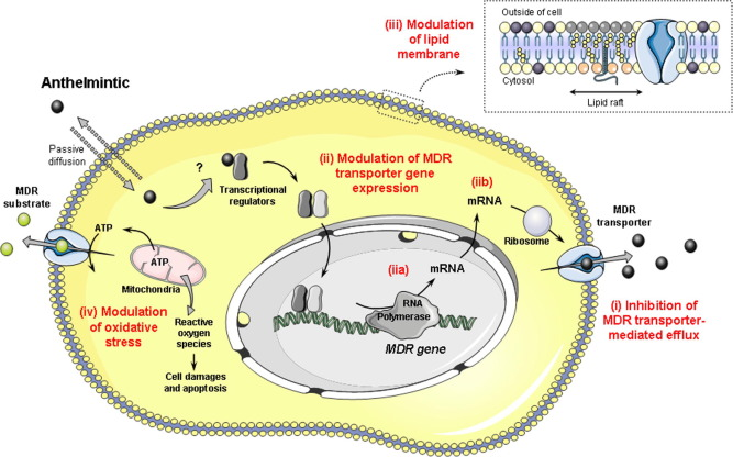 Anthelmintic drugs mechanism of action - Înțelesul