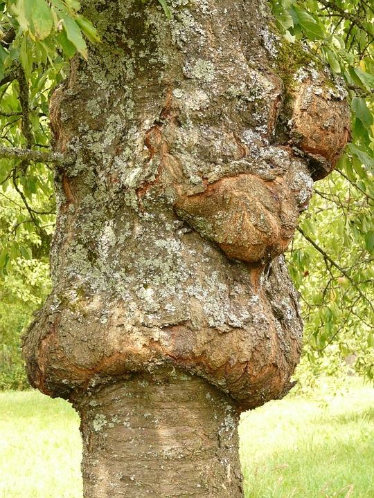 cancerul copacilor