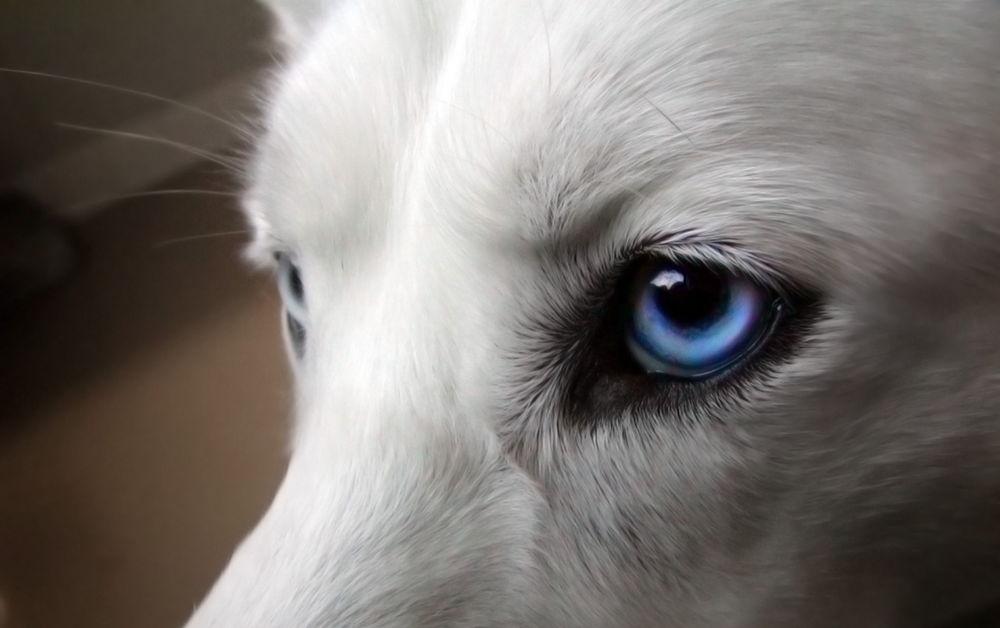 ojos de perro il papillomavirus si trasmette