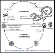hpv ozon tedavisi enterobius vermicularis verme