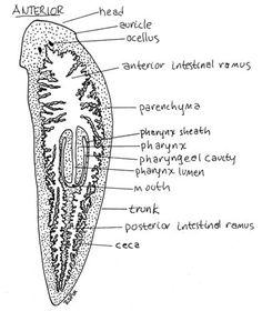 quizlet de platilhelminthes hpv causes disease