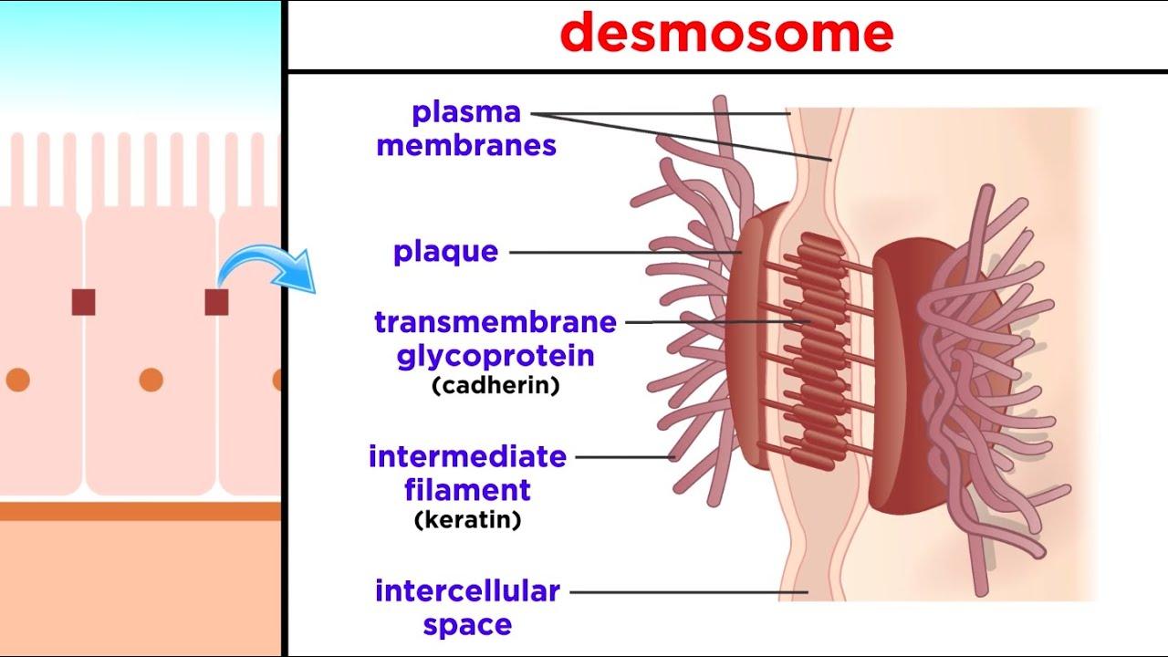 Condilomatoza genitală - Viața Medicală - Condyloma acuminata ce inseamna