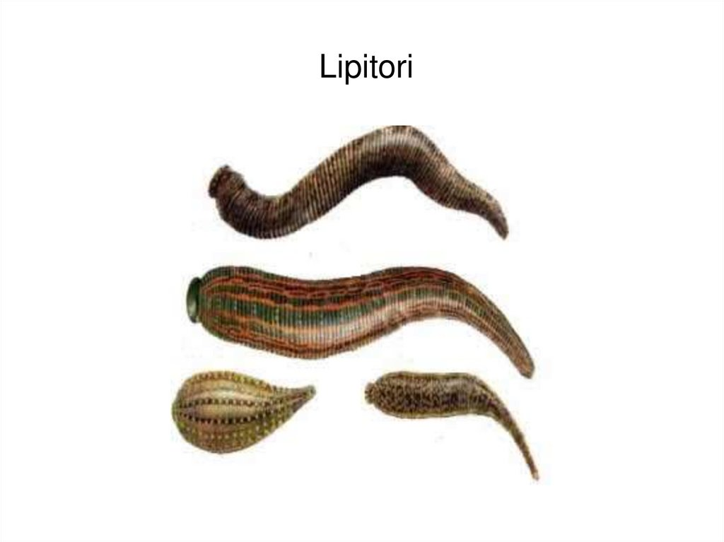 câte specii de platyhelminthes există