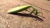 Greierele Weta , cea mai mare insectă din lume | Insecte, Ceas