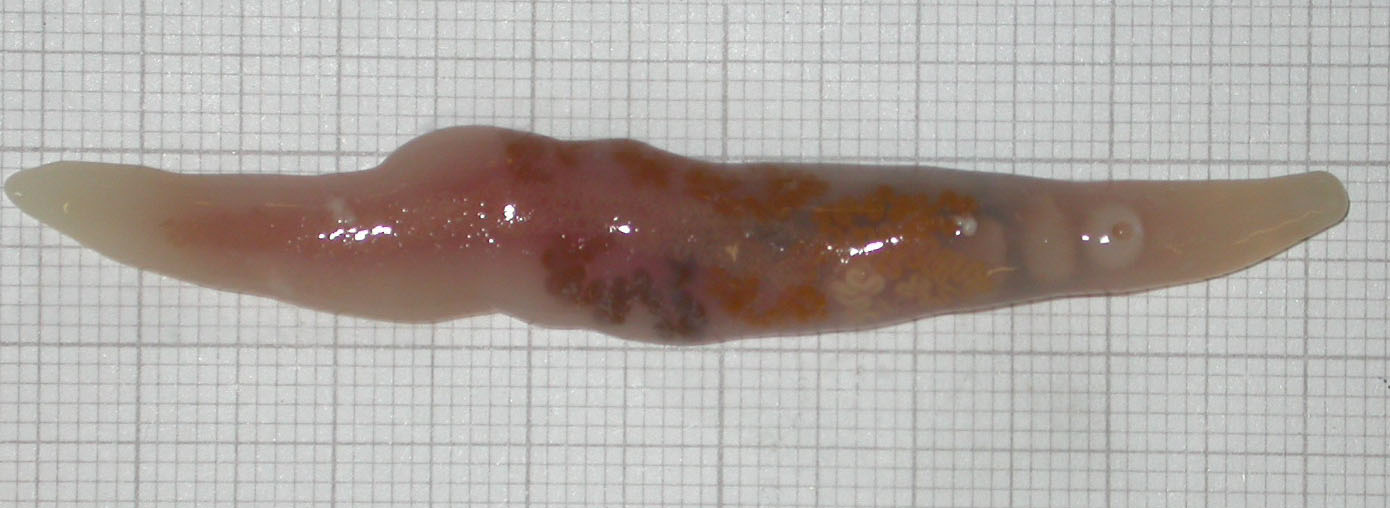 exemple de clase de platyhelminthes