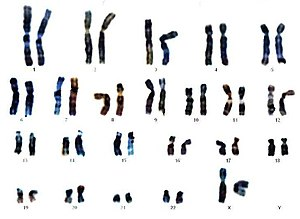 denumirea viermilor din cromozomii umani