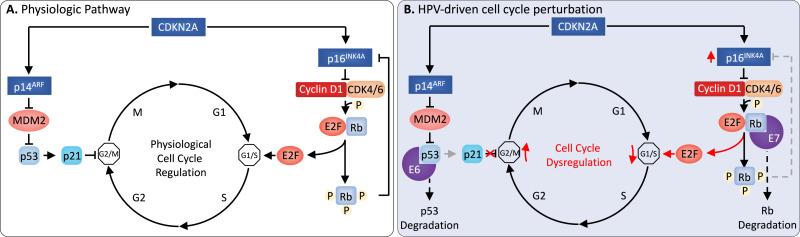 papillomavirus infection mechanism veruci genitale decât frotiu
