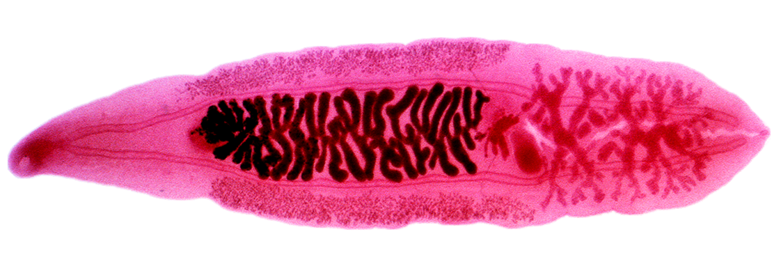 Pinworms la adulți - tratament, simptome, pastile, medicamente, Symptoms of enterobiasis