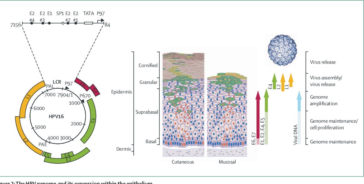 detoxifiere ultra colon cryopharma papiloame