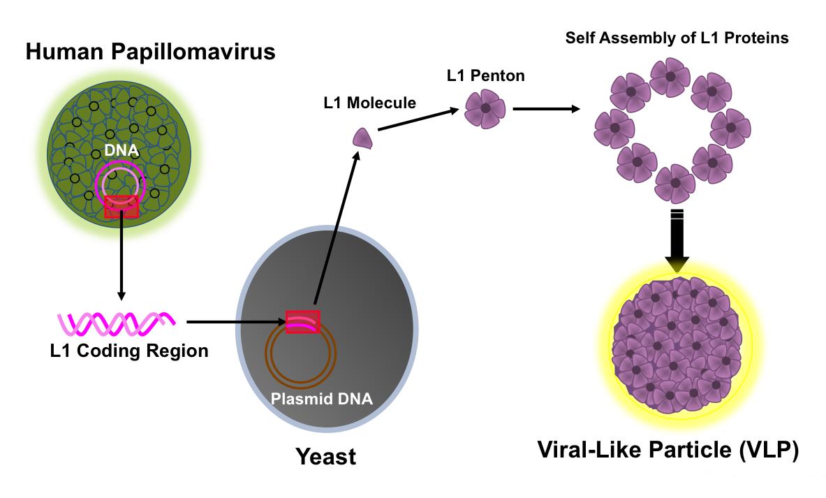 human papillomavirus infection microbe