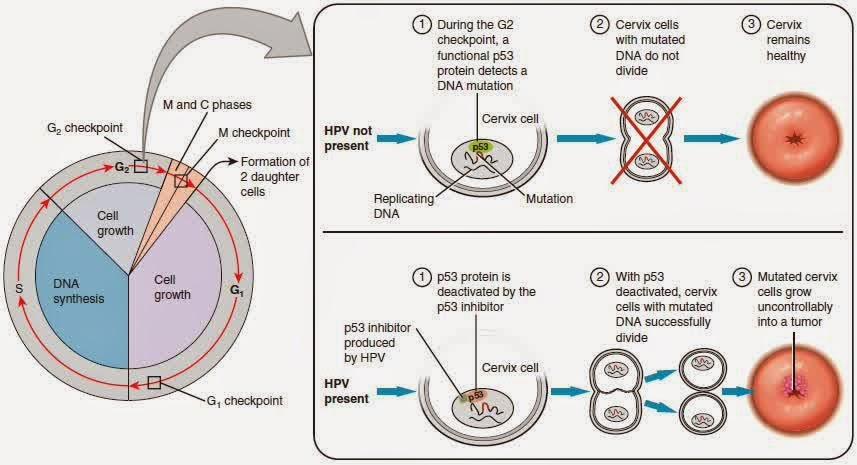 hpv cancer prostate