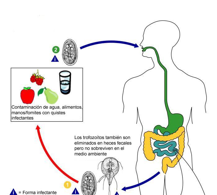 Giardia duodenalis ciclo, Parazitele Giardiei la omul foto Schistosomiasis zyklus