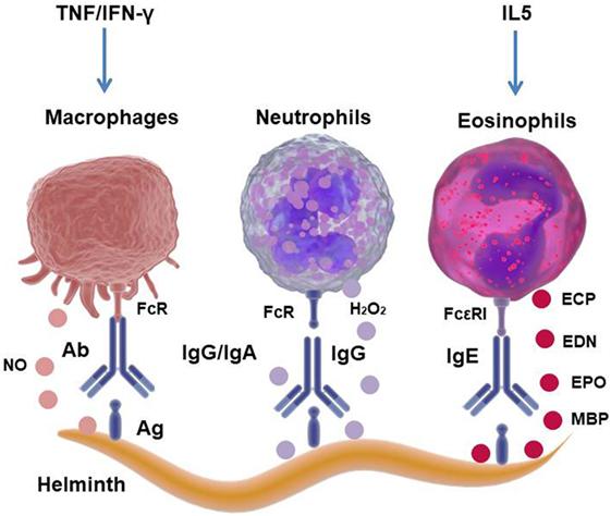 helminth infection monocytes
