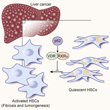 hepatic cancer receptor