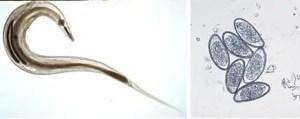 Rase de Iepuri: Principalele boli
