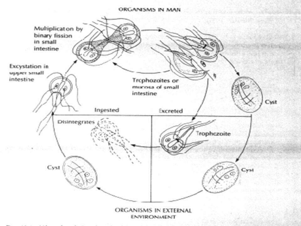 patogeneza giardiei