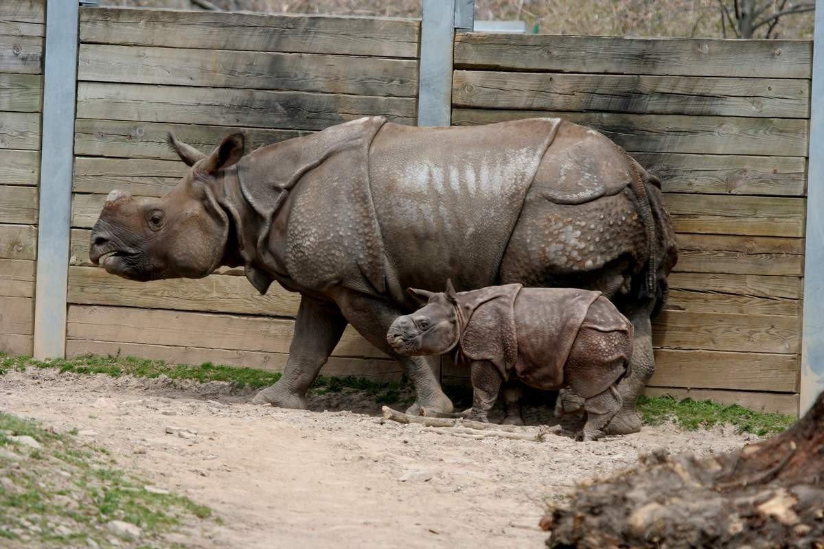 rinocer în engleză epidemiologia teniozei