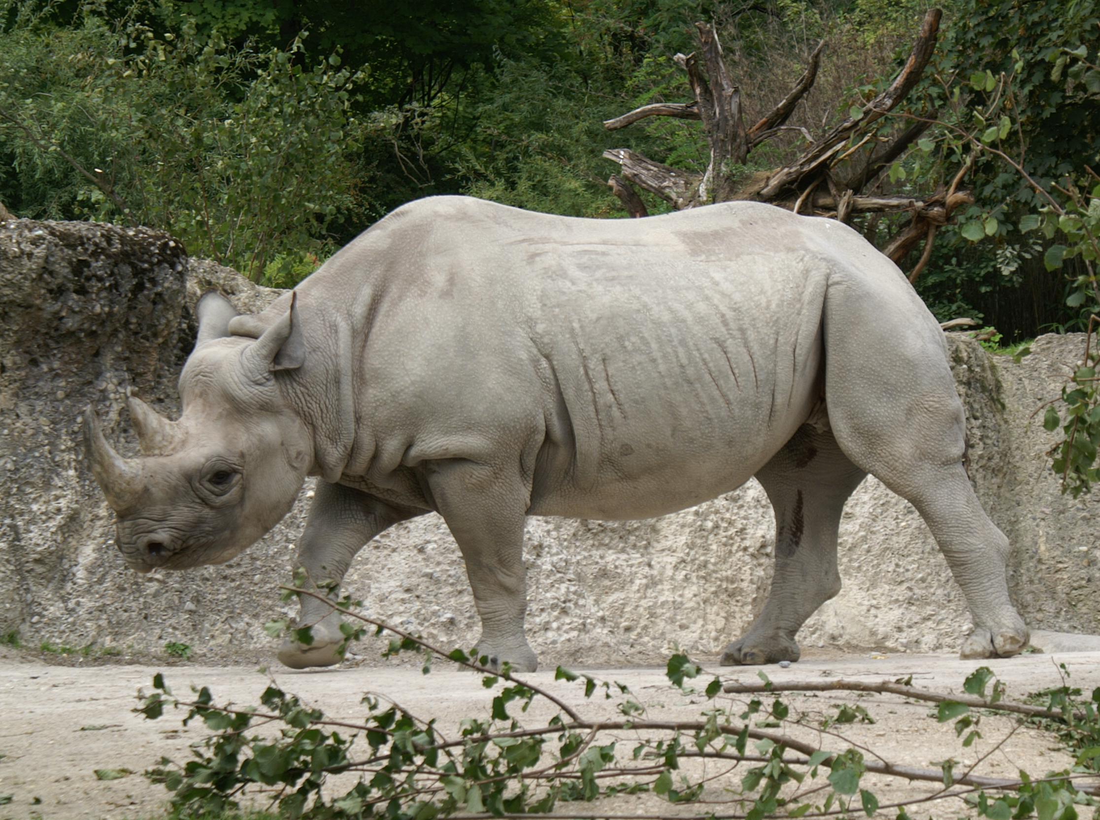 rinocer în engleză cancer and abdominal wall