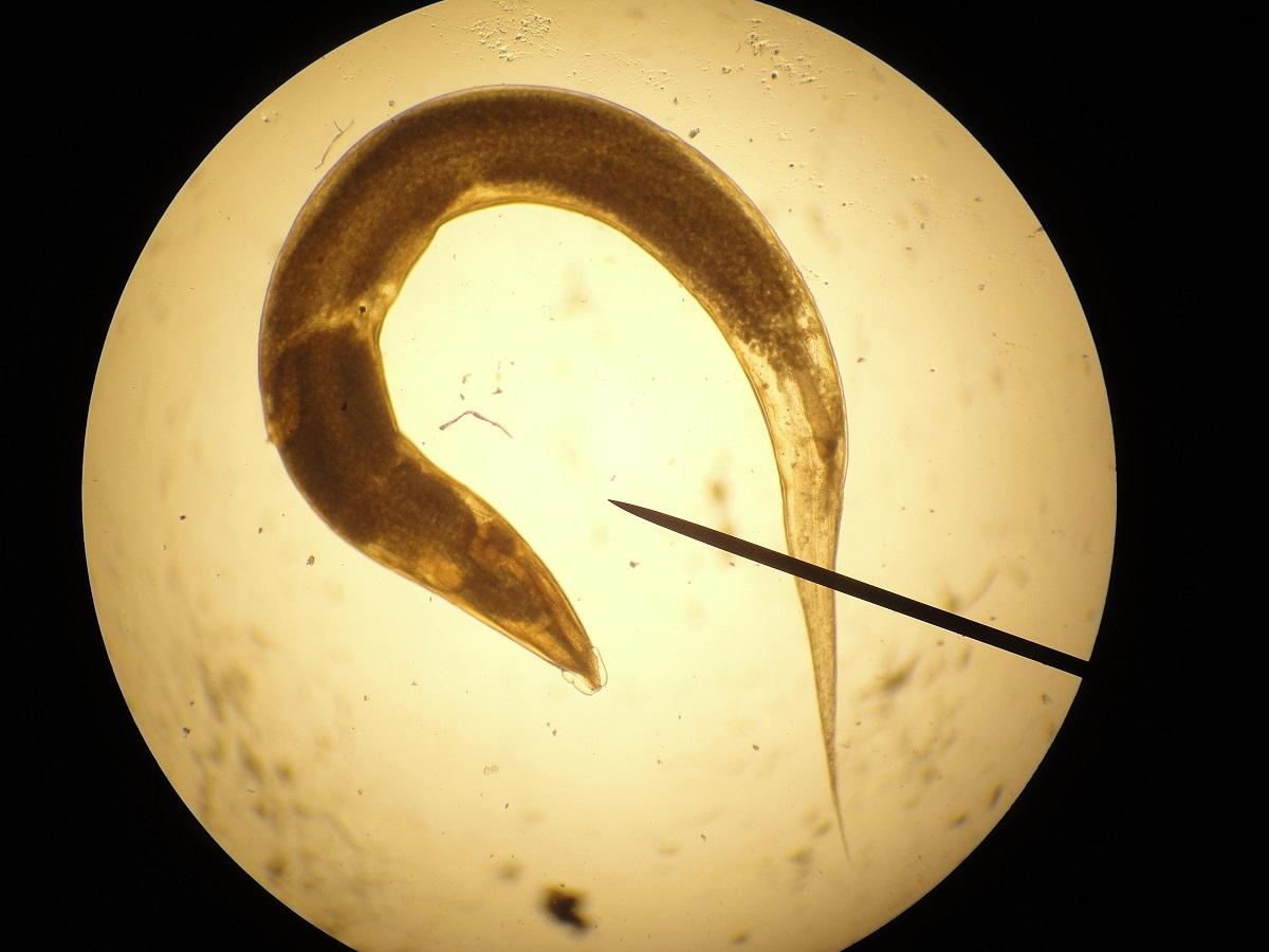 aschelminthes sistemul circulator