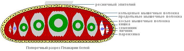 tip de simetrie vierme rotunde