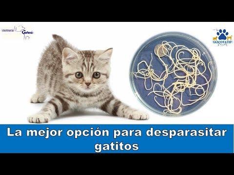 Bacterii giardia en gatos, 6 afecţiuni ce se pot transmite de la pisică la om