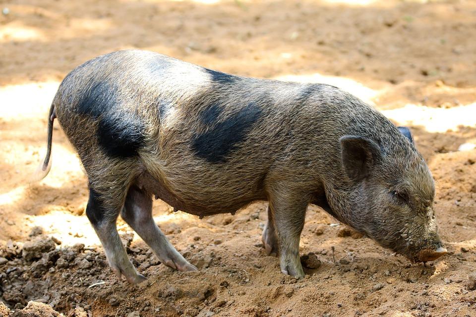De Ce Allah Le-a Interzis Musulmanilor Să Mănânce Porc | Ştiri | Libertatea | Libertatea