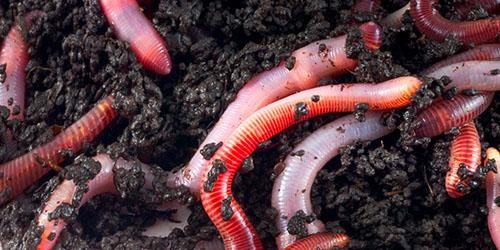 vierme de pământ pentru copii