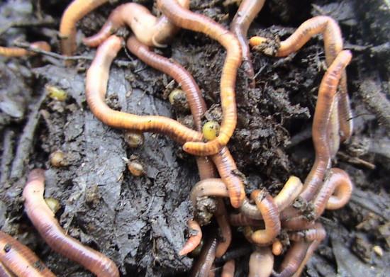 viermi rotunzi se mișcă cum se poate elimina papilomul oblong