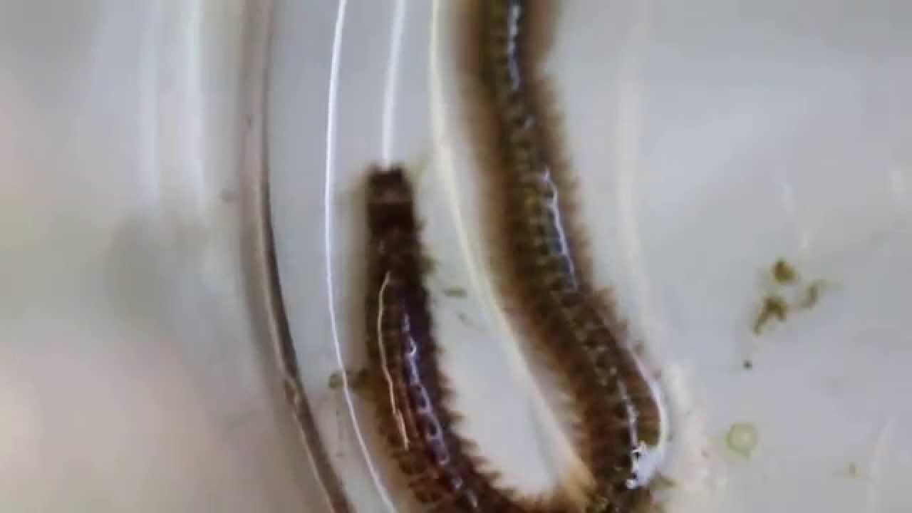 că viermi de pin se manifestă
