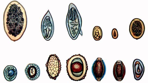 viermi din organele interne)