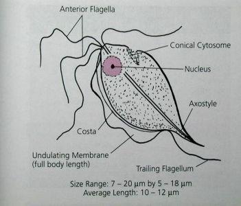 Trichomonas vaginalis - generalitati, analize medicale | Bioclinica