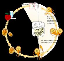 Giardien mensch în medicamente Gastric cancer and anemia