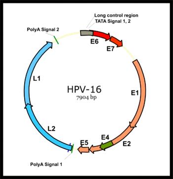 hpv viral genome papilloma squamoso palpebra