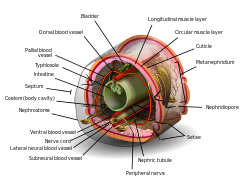 Coelomate de platyhelminthes - Diferența dintre Coelenterates și Platyhelminthes