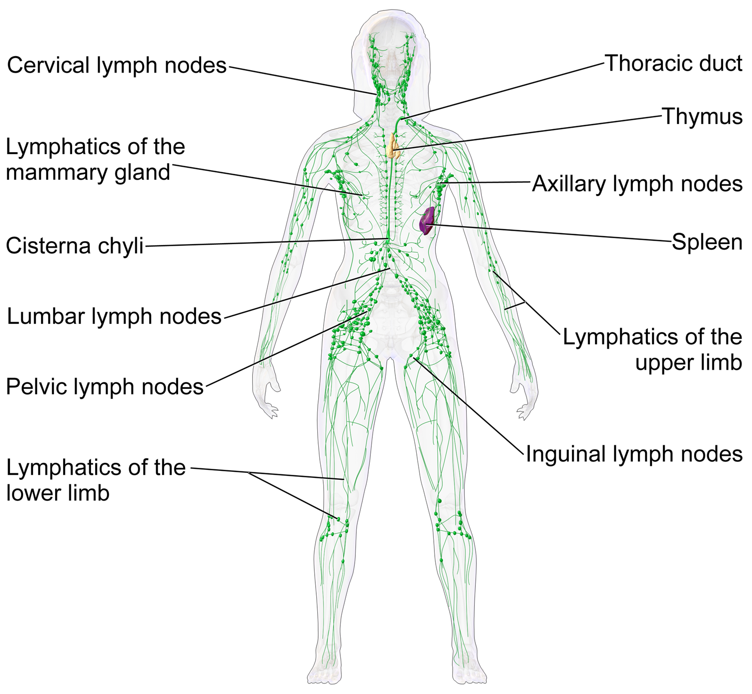 modul de determinare a teniei în corp hanorac cu parazitii